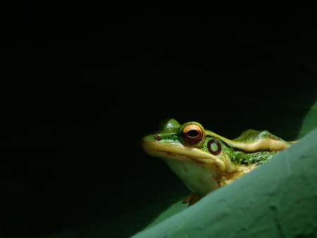 poison dart: frog