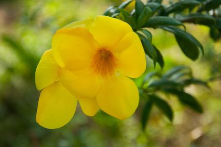allamanda flower