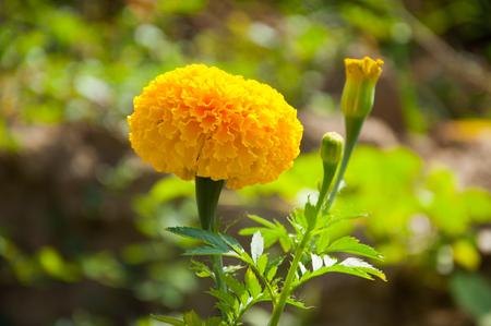 marigold in outdoor Banco de Imagens