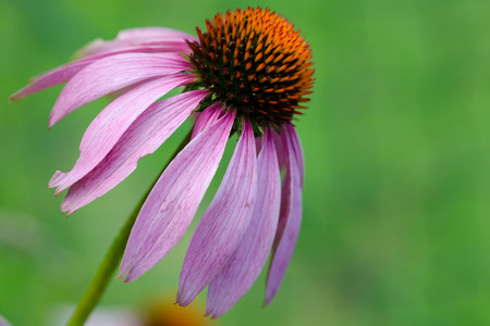 exempted: a single exempted purple coneflower Stock Photo
