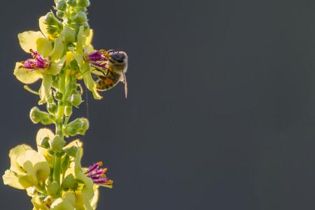 dark mullein with a honey bee photo
