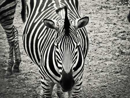 zebra in black and white photo