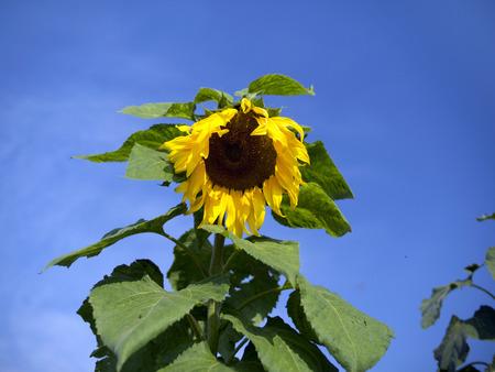 helianthus annuus: sunflower Helianthus annuus