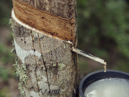 tapping: rubber tree sap tapping Stock Photo