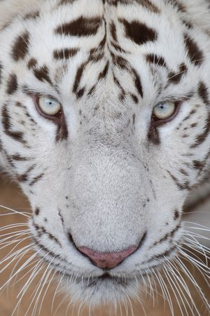 white tiger Stock Photo - 5215559