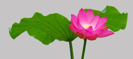 lotus Stock Photo - 7195464