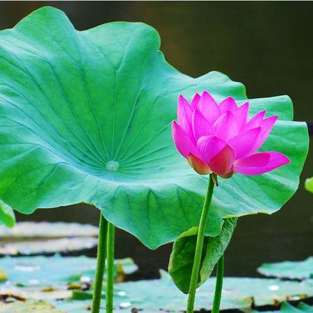 lotus Stock Photo - 7195467