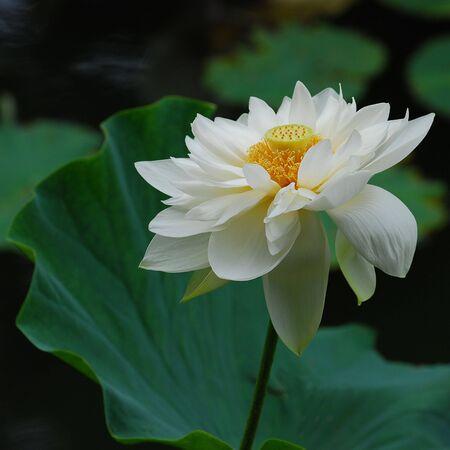 lotus Stock Photo - 7195468