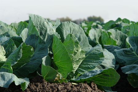 green leafy vegetables: young green leafy vegetables in a California farm Stock Photo