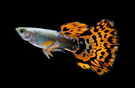 Male of guppy on black  background Stock Photo - 27788233