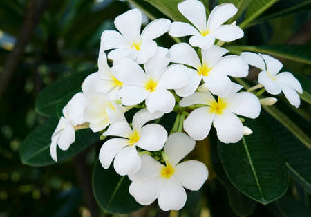 spp: White and yellow Plumeria spp