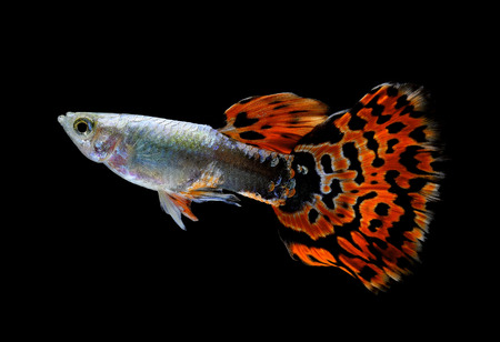 limpid: guppy fish  isolated on black