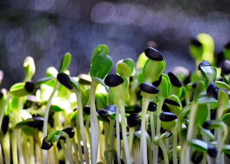 sunflower seeds: Sunflower sprout Stock Photo