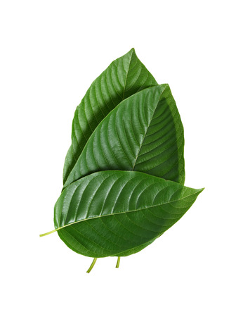 mitragyna speciosa korth (kratom) a drug from plant to a category 5 in thailand