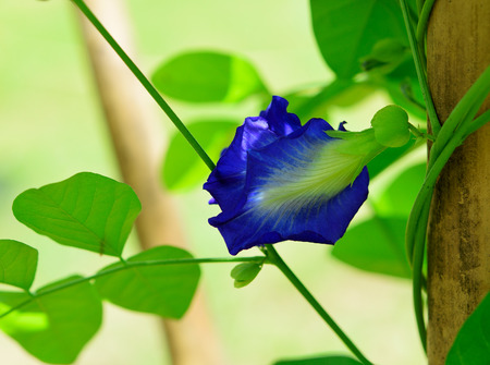 Butterfly pea ( Clitoria ternatea L. ) on white background.