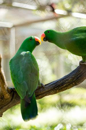 periquito: besos loro verde en el centro de cría de la vida silvestre Foto de archivo