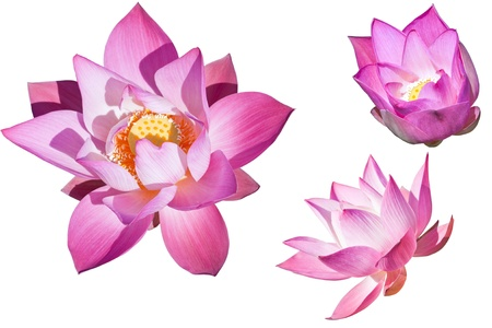 Pink  lotus collection on white background