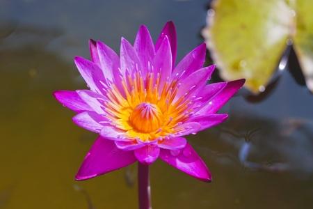 pink lotus Stock Photo - 11751219
