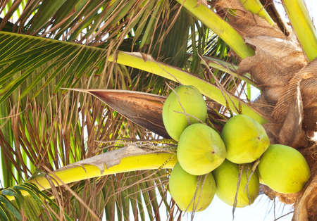 Coconut on tree Stock Photo - 13382393