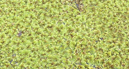 duckweed on the pond photo