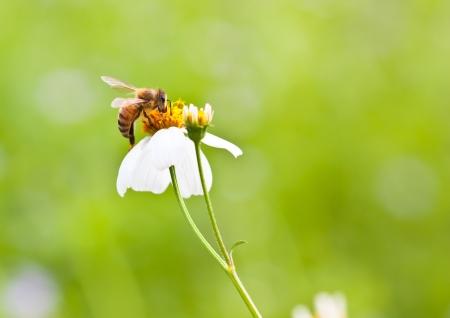 stamen wasp: Bee on white flower, macro shot