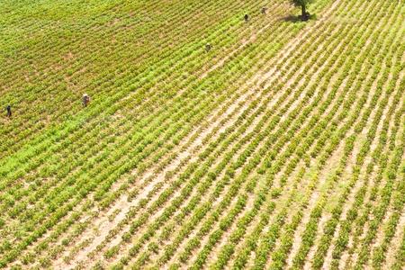 row of cassava photo
