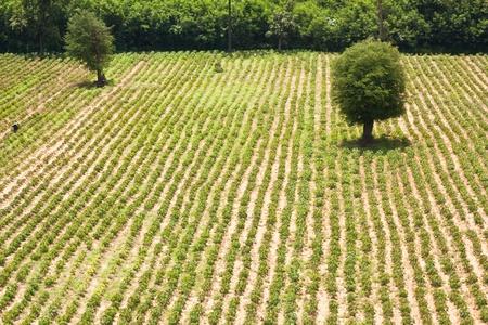 row of cassava