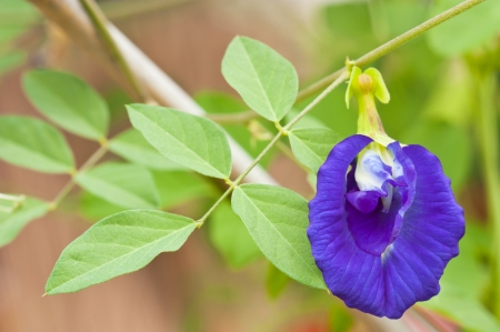 Clitoria ternatea also known as the Butterfly Pea Flower, used for food coloring Stock Photo
