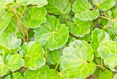 Green leaves in garden for background Stock Photo