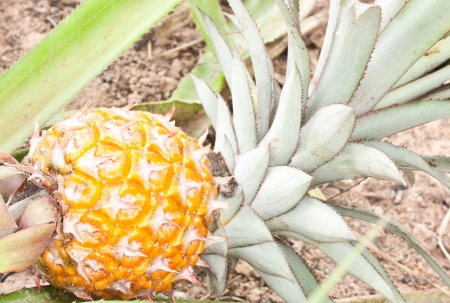 pineapple in nature with flower and leaf Stock Photo - 14190733