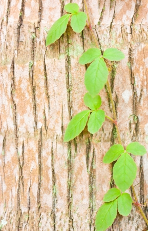 the ivy on tree trunk Stock Photo