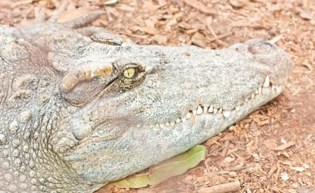 Close up Crocodiles head in captivity photo