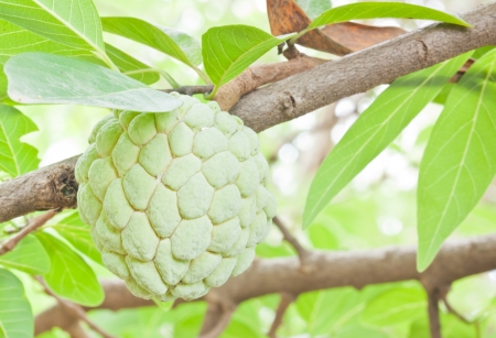 the young green sugar apple on tree photo