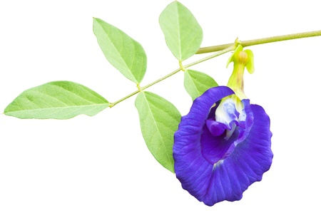 pea shrub: Isolated Clitoria ternatea also known as the Butterfly Pea Flower, used for food coloring