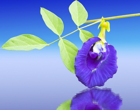 pea shrub: Clitoria ternatea refection on water also known as the Butterfly Pea Flower, used for food coloring