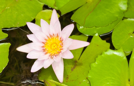 pink lotus flower blooming photo