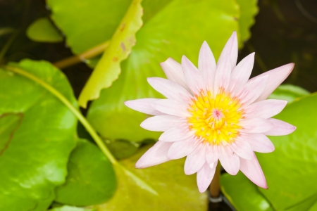 pink lotus flower blooming photo