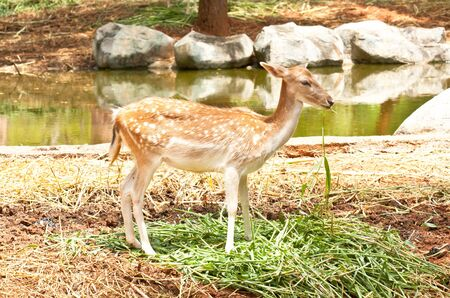 the fawn eating  grass 스톡 사진