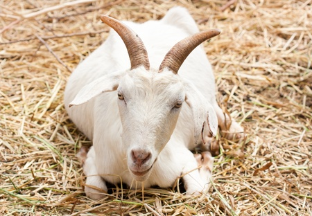 Close up goat in the farm Stock Photo - 17120214
