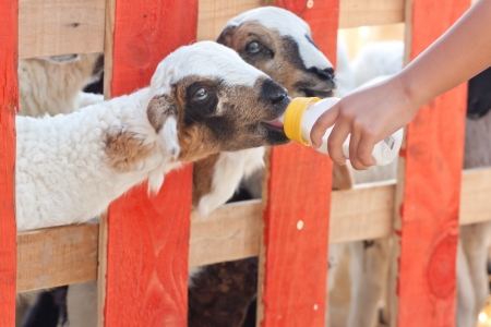 Close-up feeding baby goat with baby bottle in a farm Stock Photo