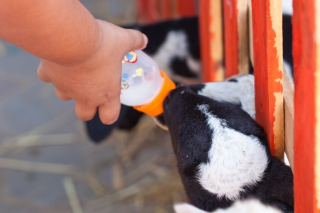 Close-up feeding baby goat with baby bottle in a farm photo