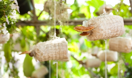 Cultivation of Ganoderma lucidum Stock Photo - 17350758