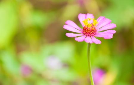 Helichrysum bracteatu,Straw flower Stock Photo