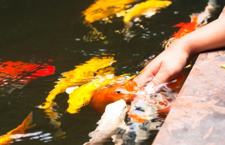Colorful Koi or carps play with kids hand photo