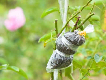 clonacion: Cerca injertado rama rosa en t�cnica de clonaci�n de plantas