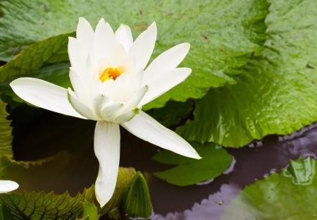 White lotus flower blooming Stock Photo