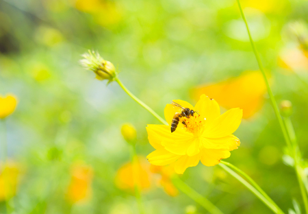 Bee on yellow flower in the park photo