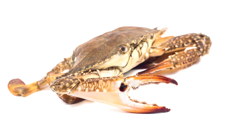 blue swimmer crab: Blue sea crab isolated on  the white background
