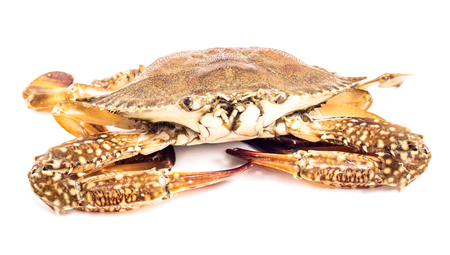 Blue sea crab isolated on  the white background