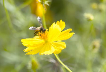 Abeille sur une fleur jaune dans le parc Banque d'images - 26122608